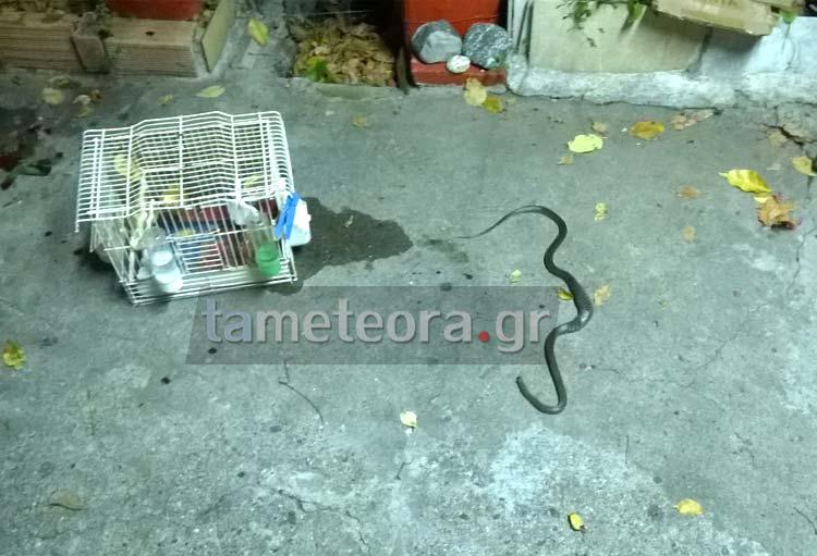 Φίδι Καλαμπάκα