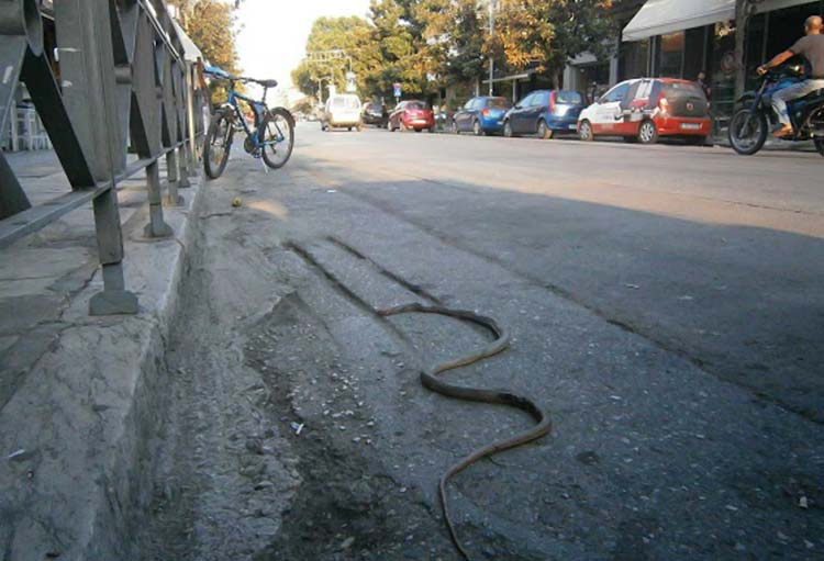 Φίδι στη Λάρισα